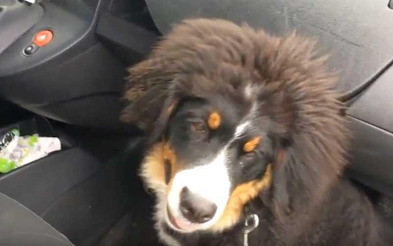 Irisscan de hond uitlaten met diabetes SKD